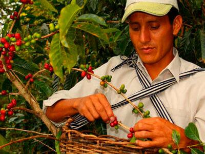 Сбор ягод Гондурас2